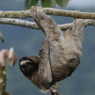three-toed-sloth-at-canopy
