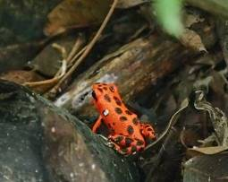 The strawberry poison dart frog: about the size of my thumbnail