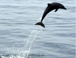 Dolphin the the Pearl Archipelago