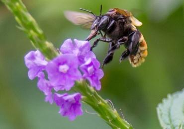 Panama bees