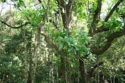 Panama forest
