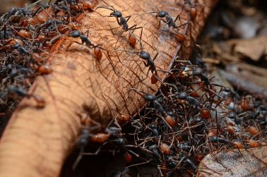 800px-Army_ants