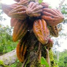 Cacao Farms